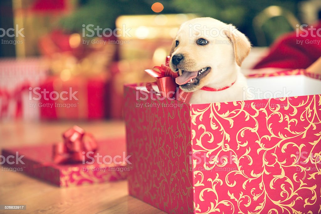 Puppy In A Christmas Present Stock Photo Download Image Now Istock