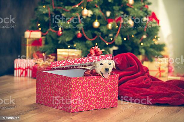 Puppy in a christmas present picture id526855247?b=1&k=6&m=526855247&s=612x612&h=wgg2zc116v ryeyg2pmchw6nemgbgzgt20bs3lzjhs0=