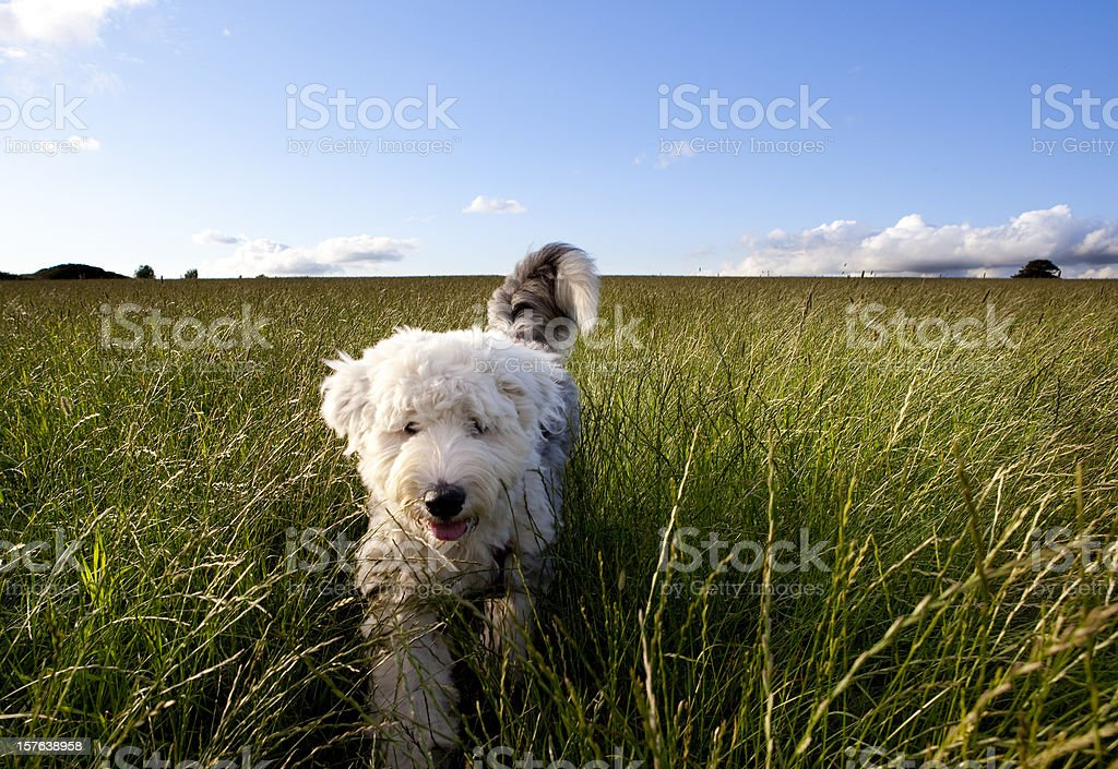 Puppy in a field stock photo
