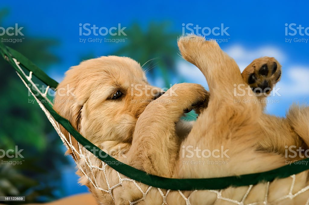 Puppy in a hammock royalty-free stock photo