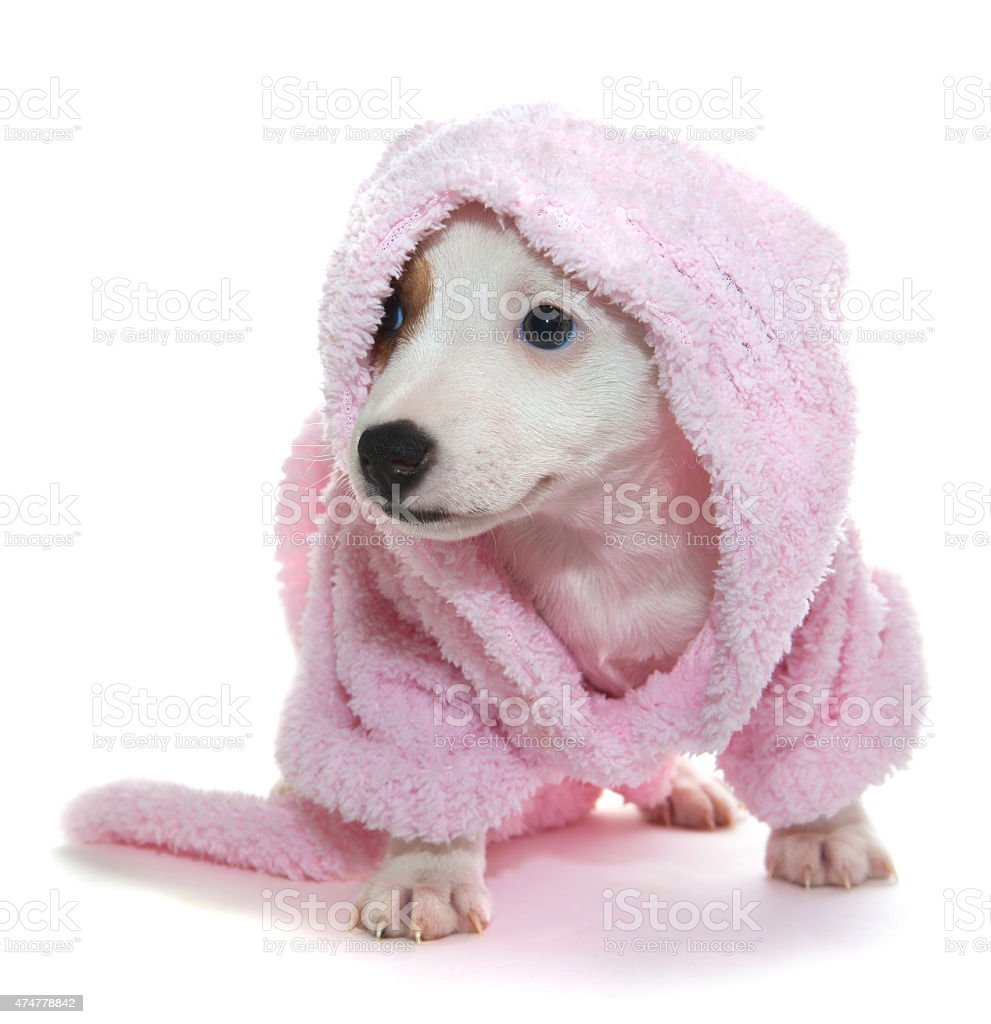 Puppy in a pink bathrobe stock photo