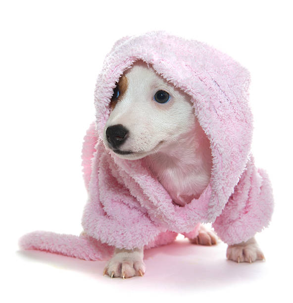 Royalty Free Dog Cap And Gown Pictures, Images and Stock Photos - iStock