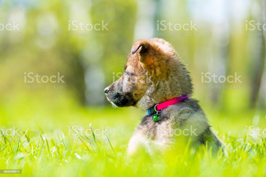草の上に座って見ているピンクの首輪の子犬 - おもちゃのロイヤリティフリーストックフォト