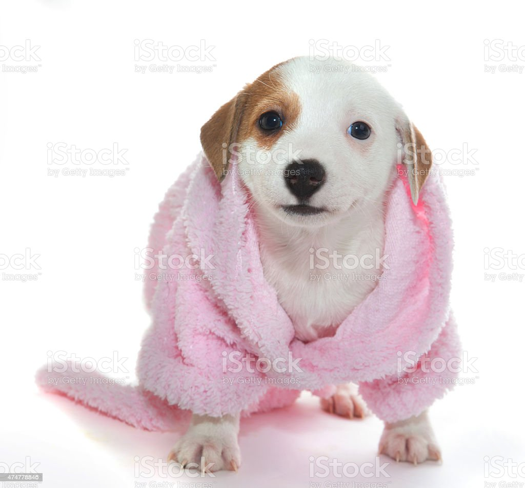 Puppy in a pink dressing gown stock photo