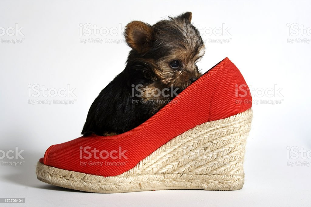 puppy in a red shoe royalty-free stock photo