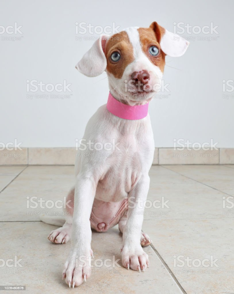 犬 保護 ジャック テリア ラッセル