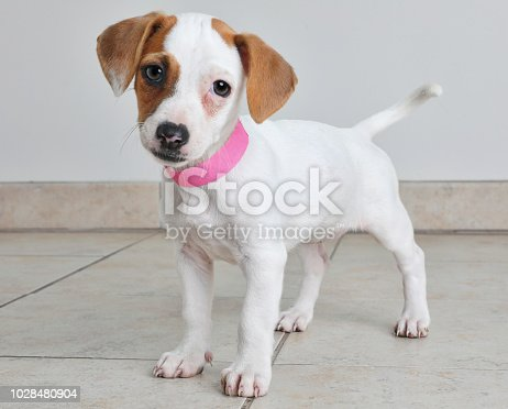Puppy in animal shelter. Jack Russel Terrier and Basenji mixed breed dog.
