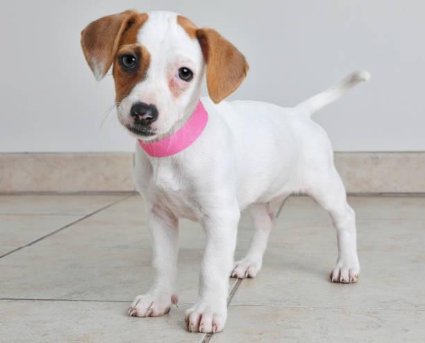 welpen im tierheim. jack russel terrier und basenji mischling hund. - hunde aus dem tierheim stock-fotos und bilder
