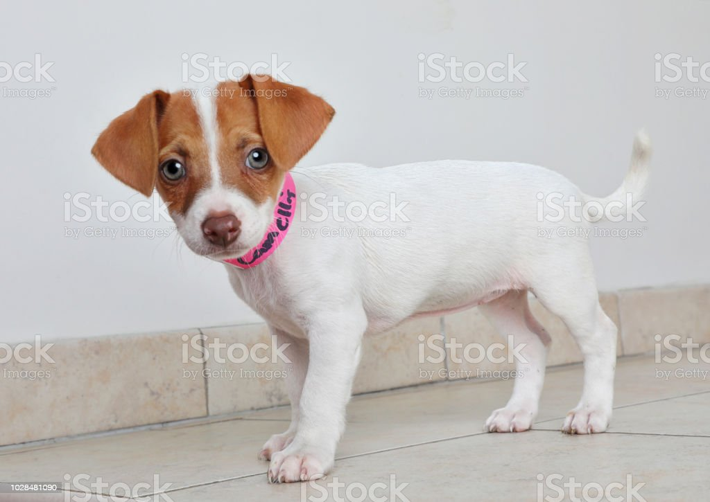 Terrier Basenji Jack In Puppy Animal Russel Shelter And qpULGMVSz