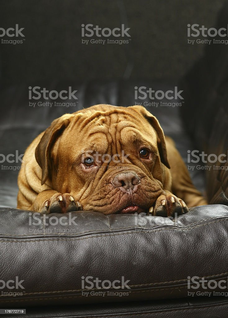 Puppy in armchair. royalty-free stock photo