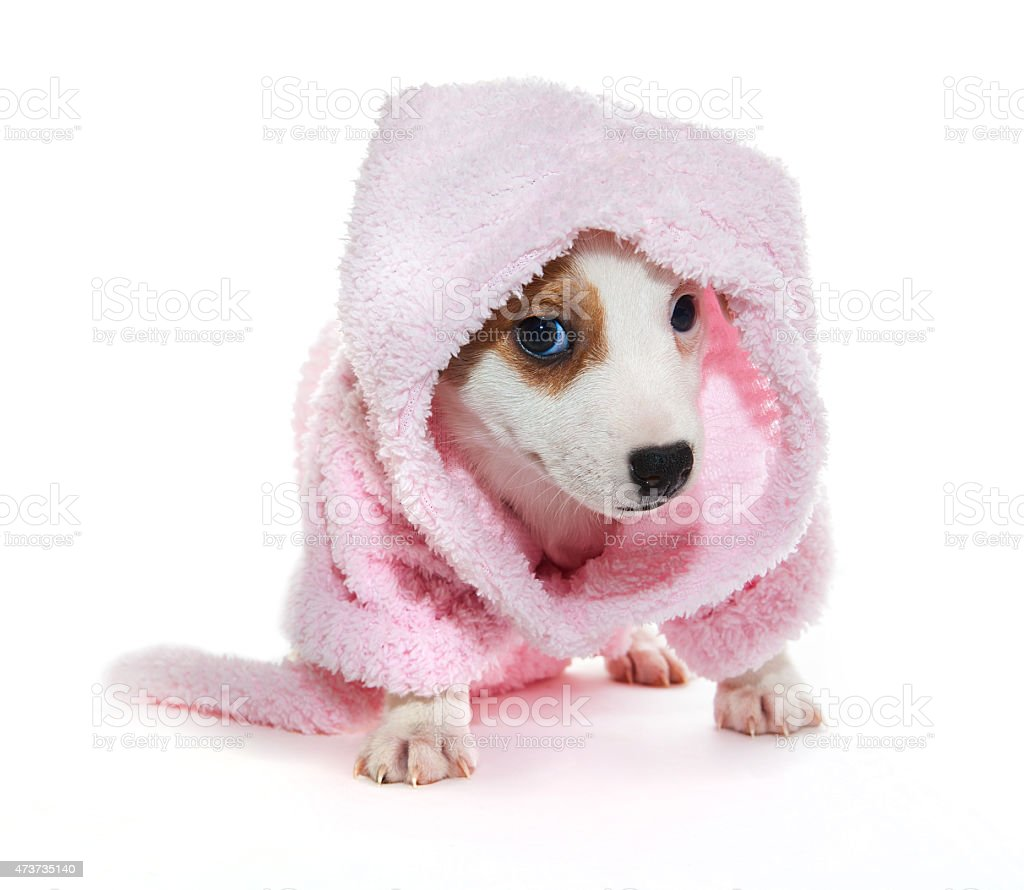 puppy in bathrobe stock photo