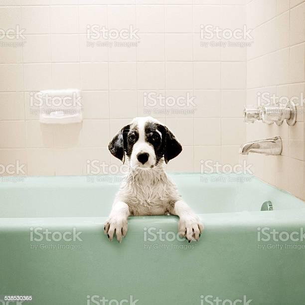 Puppy in bathtub picture id538530365?b=1&k=6&m=538530365&s=612x612&h=k jgtrbe3s oiqwi2foazwhkrwhukrwsnpppkmeekzu=