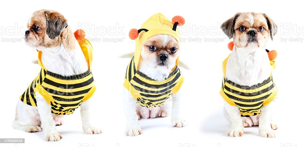 Puppy in bumblebee costume stock photo