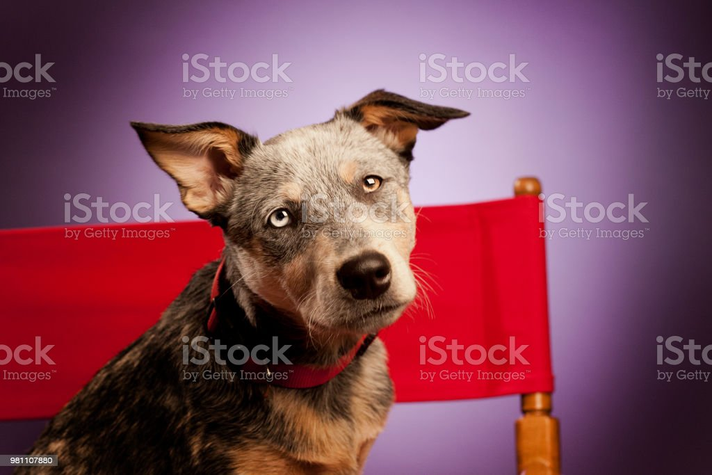 Puppy in Director Chair stock photo