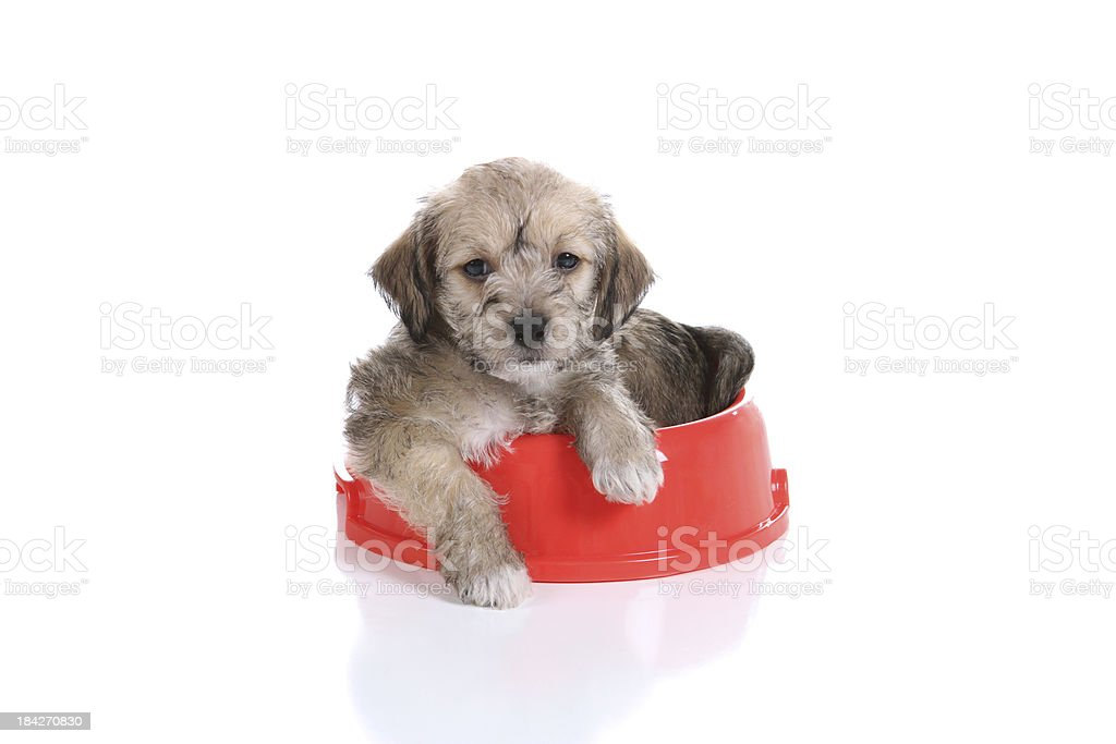 Puppy In Dog Dish royalty-free stock photo