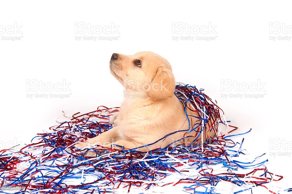 Puppy in fourth of july decorations stock photo