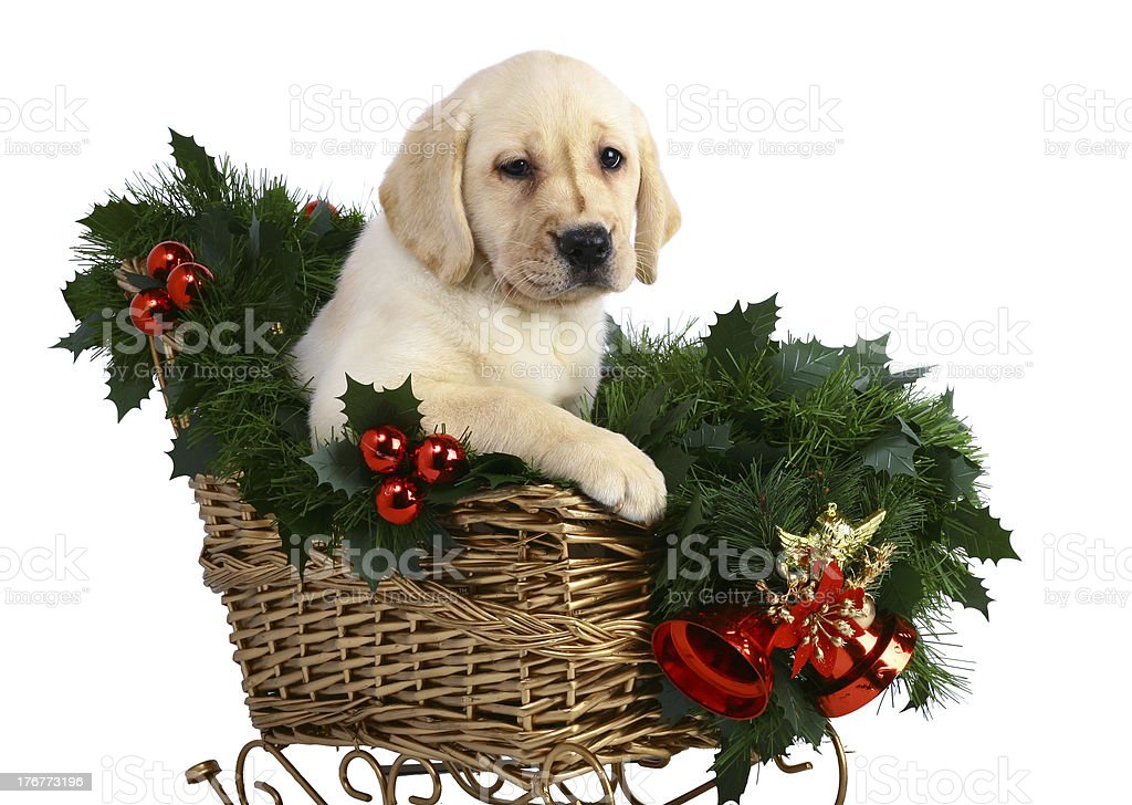 Puppy in the Christmas sledge. royalty-free stock photo
