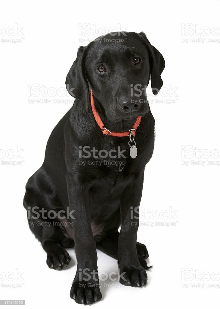 Puppy in Training stock photo
