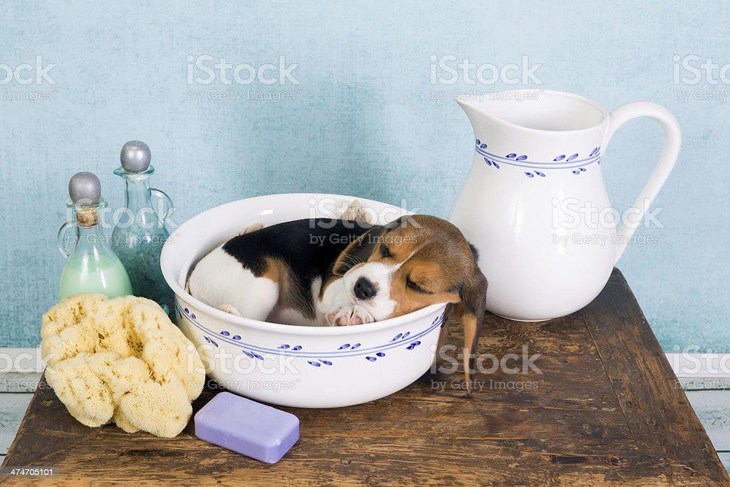 Puppy in washtub stock photo