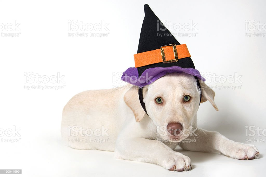 Puppy in Witches Hat royalty-free stock photo