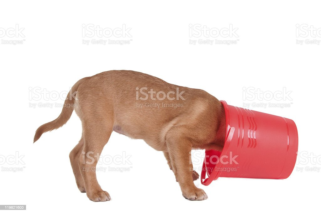 Puppy inspecting a bucket royalty-free stock photo