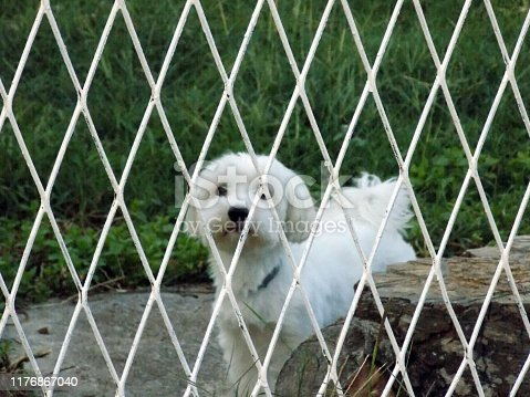Little white dog stands behind the gate