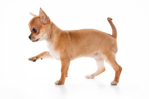Puppy is chihuhua picture id500698368?b=1&k=6&m=500698368&s=612x612&w=0&h=z6 s4lyzyx wsl9z2tct0j067p5yhyjwlojzg1o8cxm=