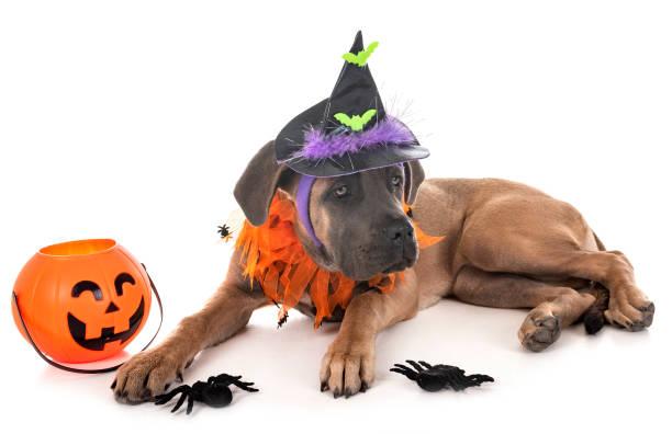 italienische dogge welpe und halloween - hund spinnenkostüm stock-fotos und bilder