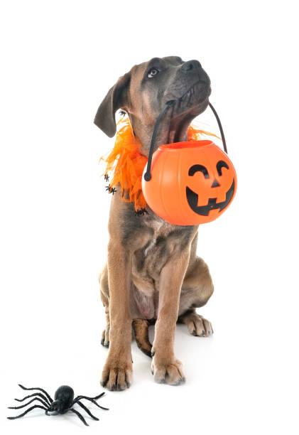 italienische dogge welpe - hund spinnenkostüm stock-fotos und bilder