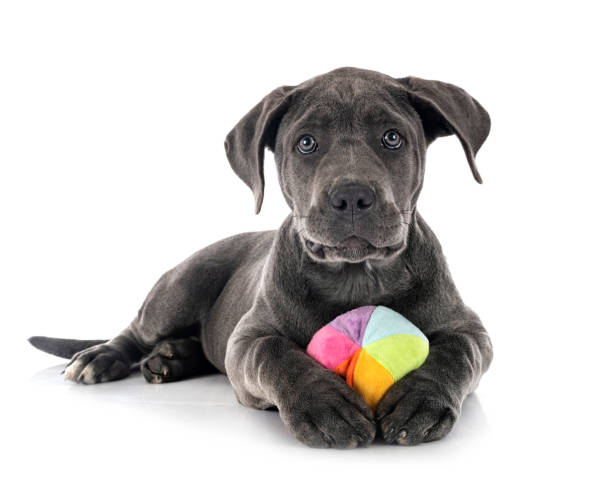 puppy italian mastiff puppy italian mastiff in front of white background cane corso stock pictures, royalty-free photos & images