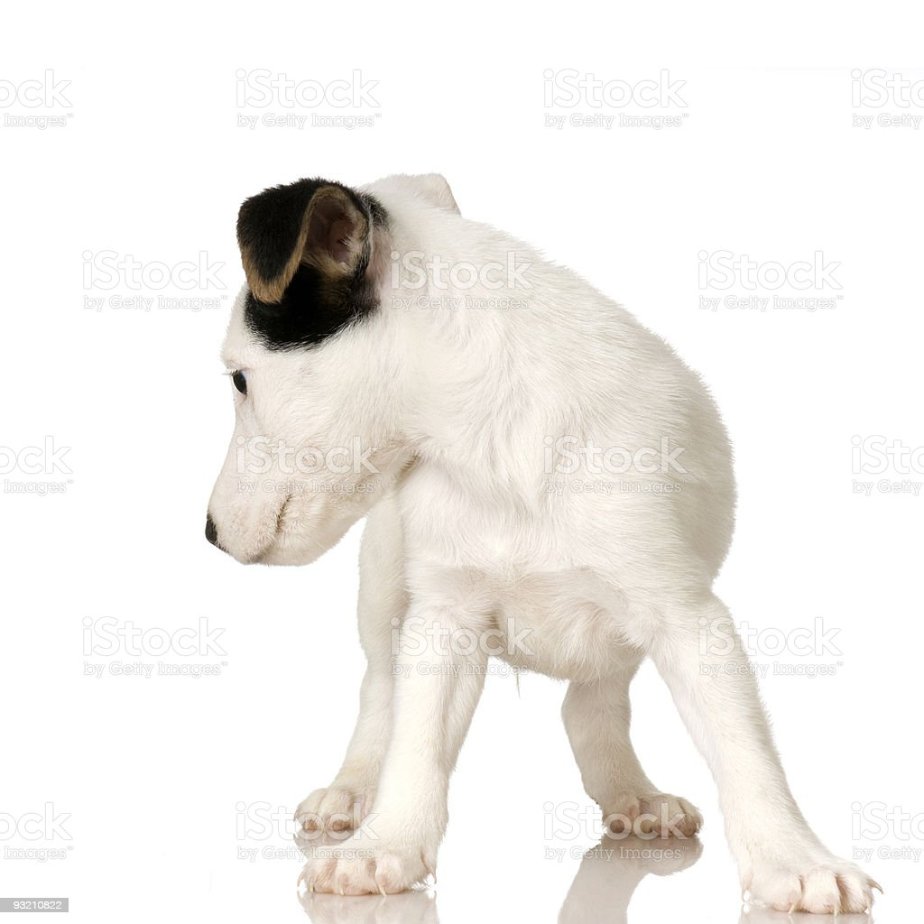 puppy Jack russel royalty-free stock photo