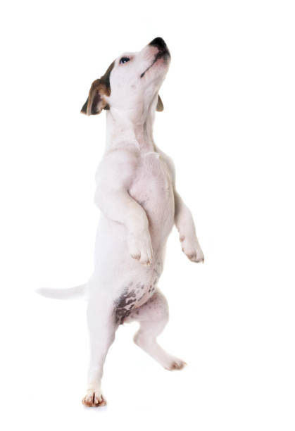 Puppy jack russel terrier picture id843005114?b=1&k=6&m=843005114&s=612x612&w=0&h=fe6tu1ptwo56worb35a5o6daolj lwnkojfpsoz4by4=