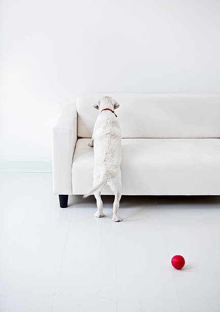 Puppy jumping up on a sofa picture id455928371?b=1&k=6&m=455928371&s=612x612&w=0&h= 65og7k54q6qgd fjspaved3gmop8j9nnsi9zkvubba=