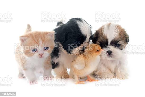 Puppy kitten and chick picture id468800032?b=1&k=6&m=468800032&s=612x612&h=k q9h0if xxbvkxzdkwr0w6a5yda9qjgfzcmcq2y4yo=