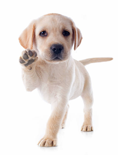 puppy labrador retriever purebred puppy labrador retriever in a studio retriever stock pictures, royalty-free photos & images
