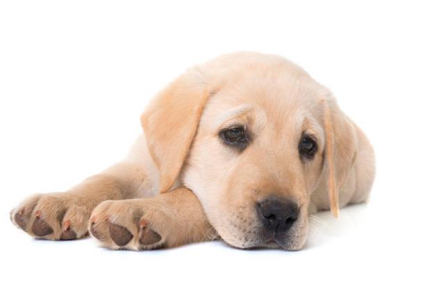 Puppy labrador retriever picture id690195926?b=1&k=6&m=690195926&s=612x612&w=0&h=yhilr4djcoorzxzrtctabpjm18b0bj9ayqywhfvh3l0=