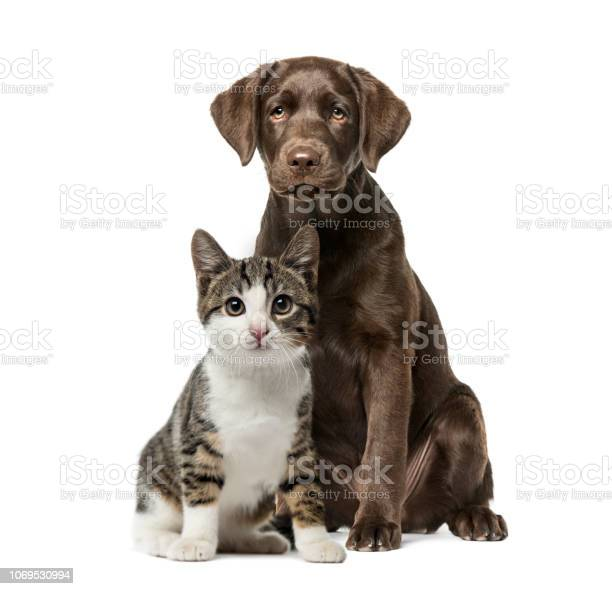 Puppy labrador retriever sitting kitten domestic cat sitting in front picture id1069530994?b=1&k=6&m=1069530994&s=612x612&h=4oybhu8gklkrqc0vs5ql d9uxwrhu0jrtbkipn9injg=