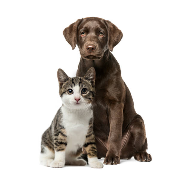 puppy labrador retriever sitting, kitten domestic cat sitting, in front of white background - dog stock pictures, royalty-free photos & images