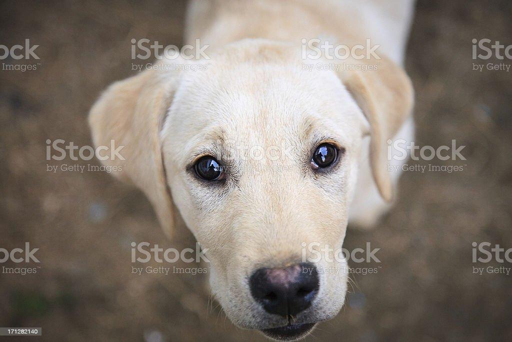 Puppy larador looking at camera stock photo