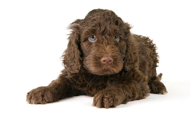 Puppy Laying Down A  Barbet (french water dog) puppy laying down for his portrait cute teen couple stock pictures, royalty-free photos & images