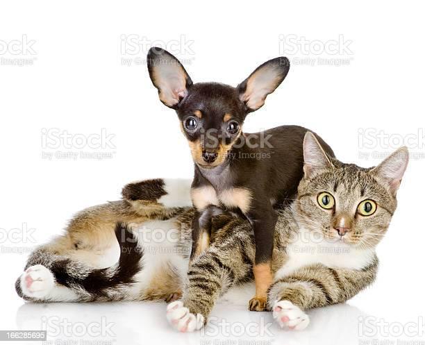 Puppy lies on a striped cat picture id166285695?b=1&k=6&m=166285695&s=612x612&h=cwnb irirewg1l88i0xvlqv6cnncty9cufvyplkmie8=
