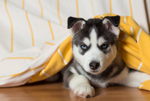 Puppy lies on the floor under the blanket. Puppy of the Siberian Husky lies on the floor under the blanket. sled dog stock pictures, royalty-free photos & images