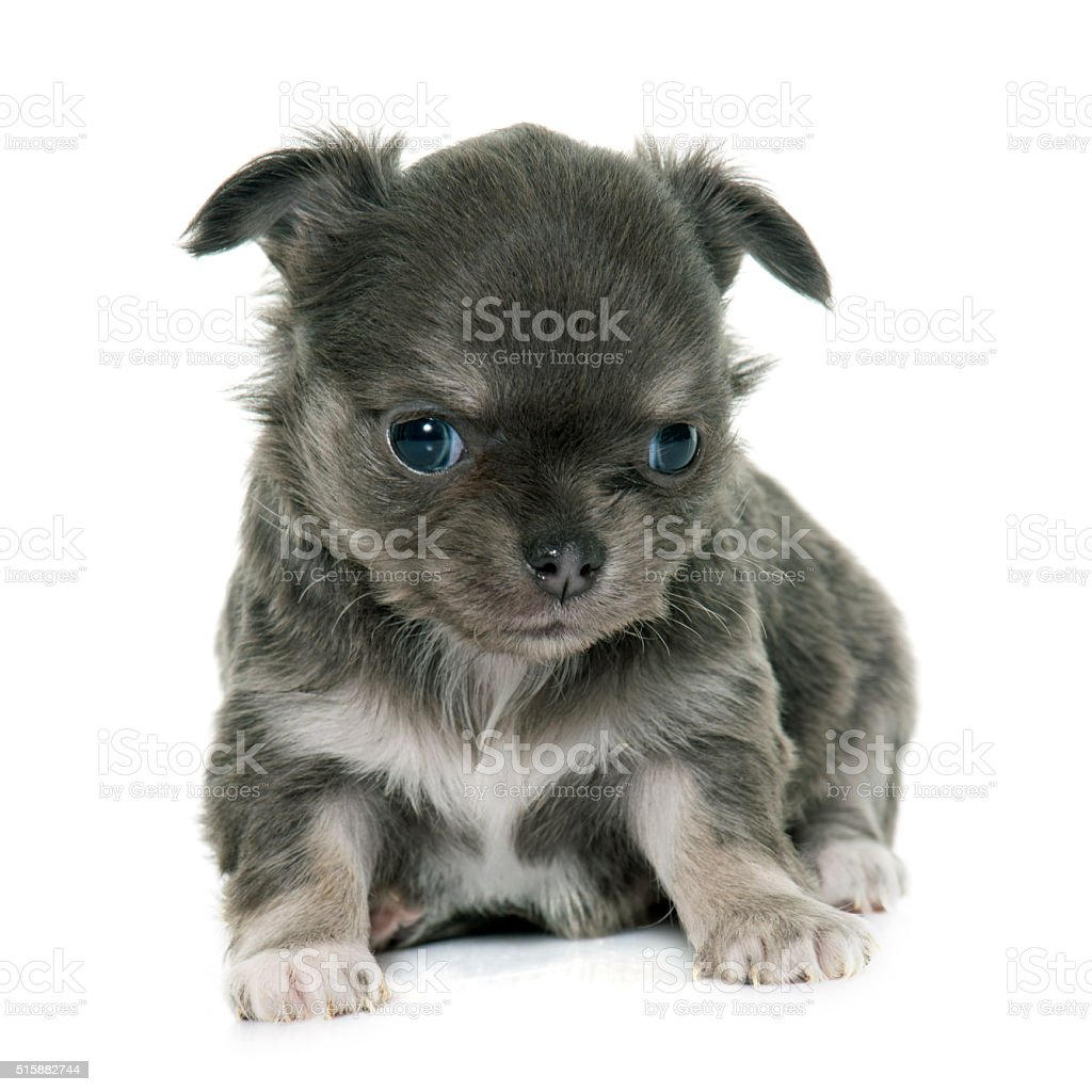 Puppy Longhair Chihuahua Stock Photo More Pictures Of Animal Istock
