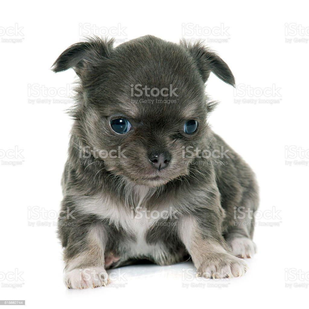 Cucciolo Chihuahua Dal Pelo Lungo Fotografie Stock E Altre