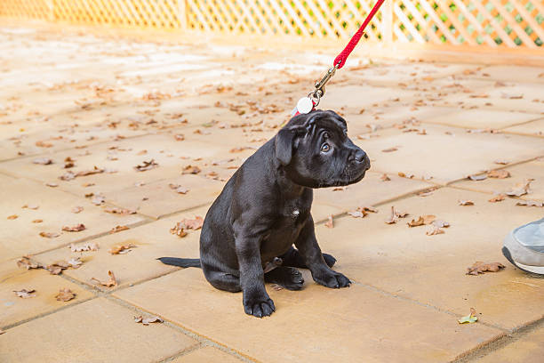 Puppy looking appealing and reluctant stock photo