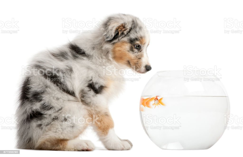 puppy looking at Goldfish, Carassius Auratus, swimming in fish bowl in front of white background stock photo
