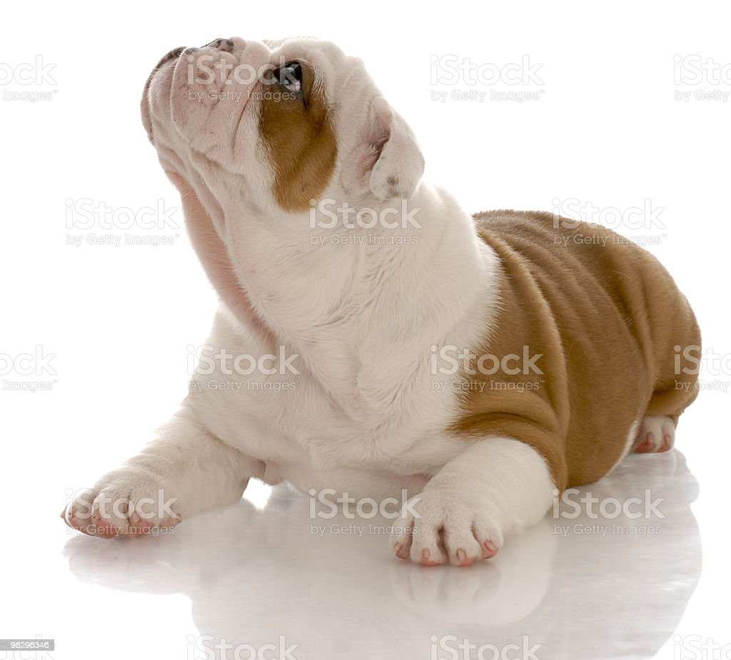 puppy looking up royalty-free stock photo