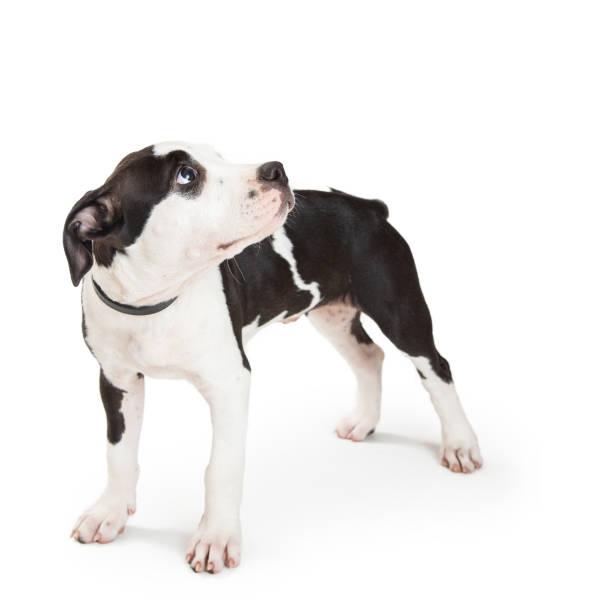 welpe mit schuldig ausdruck suchen - pitbull welpen stock-fotos und bilder
