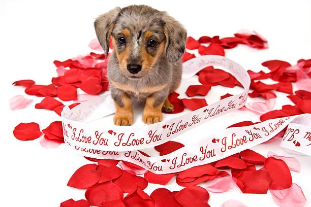 Puppy love picture id471104215?b=1&k=6&m=471104215&s=612x612&w=0&h=uhkw nlshdie07dy dd3ixgsvhkozcf e 4b4ldunzc=