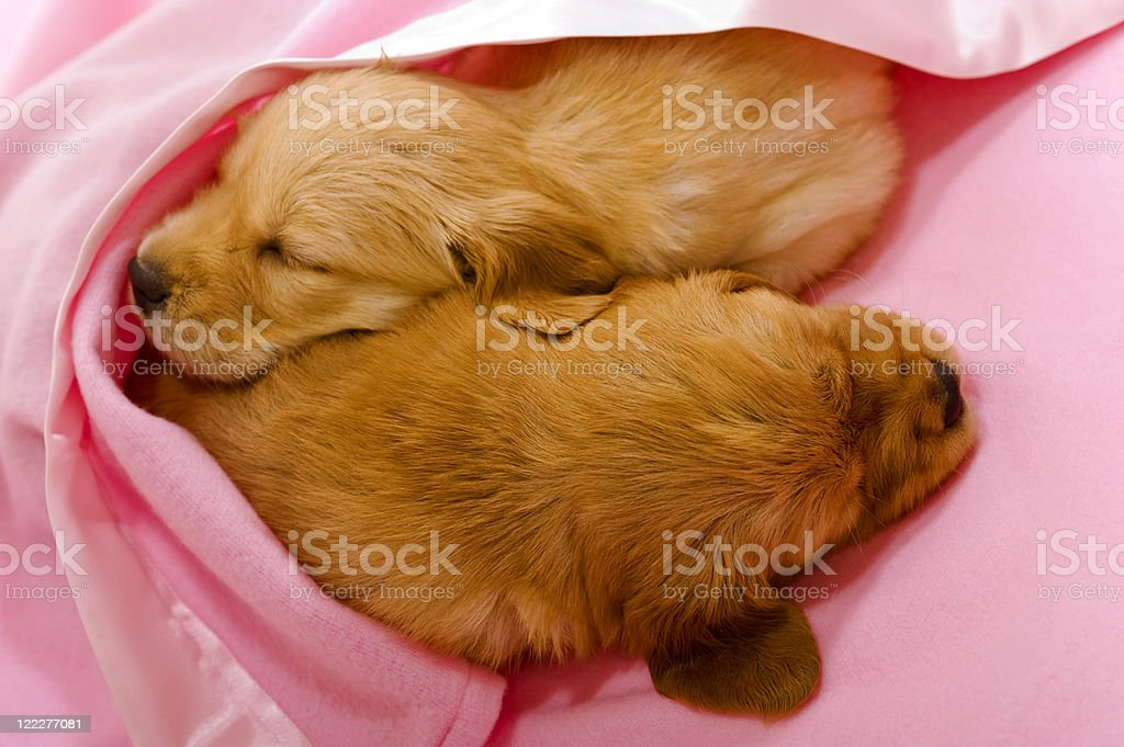 Puppy Love, sleeping together royalty-free stock photo